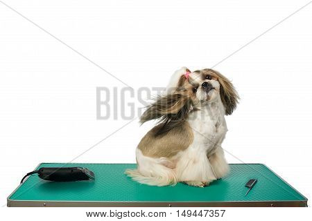 Beautiful shih-tzu dog at the groomer table with comb and razor with wind in it's hair - isolated on white