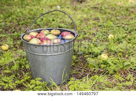 apples lying in the water in a metallic bucket standing on the green grass