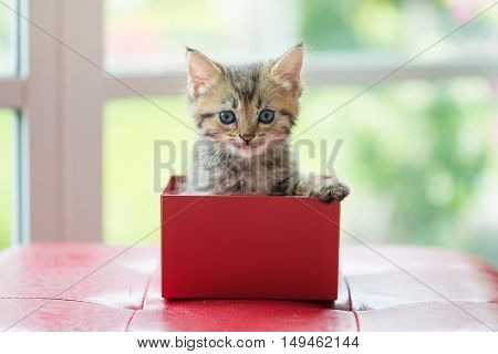 Close up of brown tabby persian kitten sit and look in paper gift box.