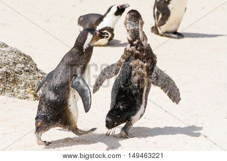 Two Young Jackass Penguins Playing Wild