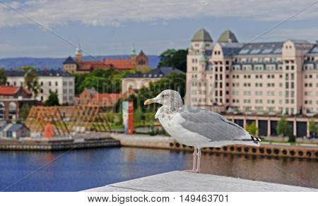 Seagull on the background Akershus Fortress in Oslo Norway.