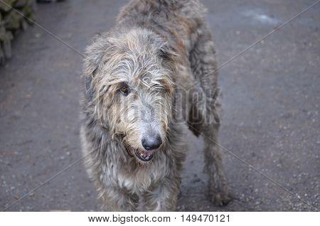 Beautiful gray Irish Wolfhound dog with scruffy fur.