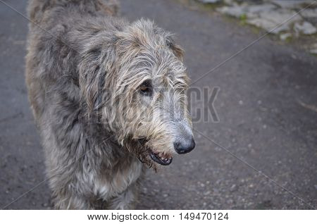 Face of an Irish Wolfhound dog with this silver and grey fur.
