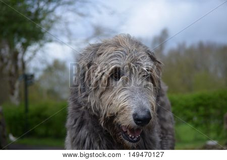 Really sweet face of an Irish Wolfhound dog.