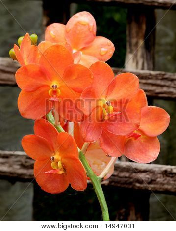Red Scarlet Orchid - 3