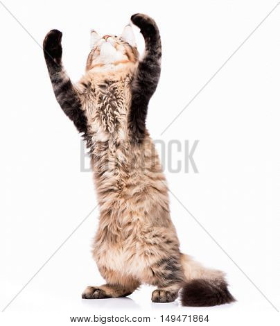 Black tabby Maine Coon kitten - 5 months old. Cute young cat standing up on hind legs with front paws up to bat and play. Playful adorable striped kitty isolated on white background.