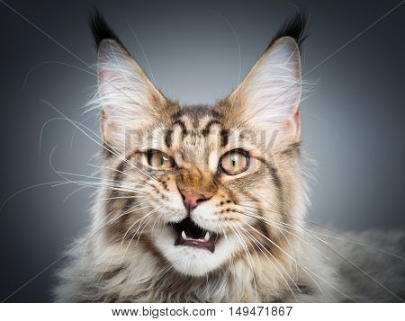 Portrait of domestic black tabby Maine Coon kitten - 5 months old. Playful striped kitty looking at camera. Beautiful young cat make funny face on grey background.