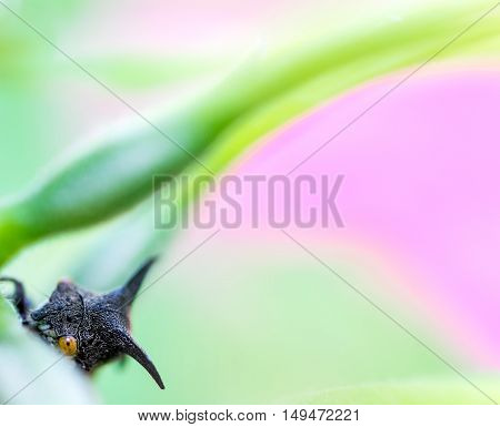 Tiny little thorn bug peeking through leaves and looking at camera with beautiful light green and pink background