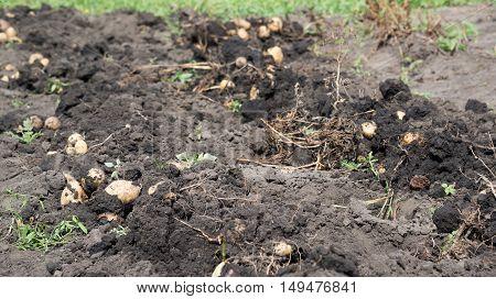 Freshly dug potatoes lies on a bed