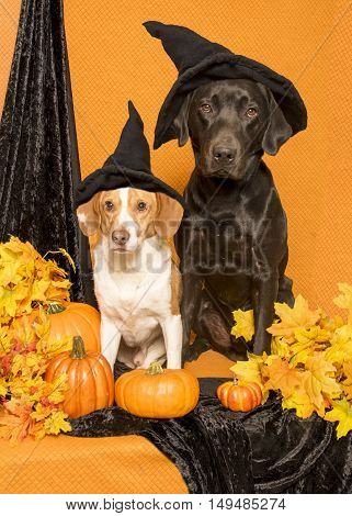 Two dogs sitting with pumpkins and autumn leaves wearing witch hats.