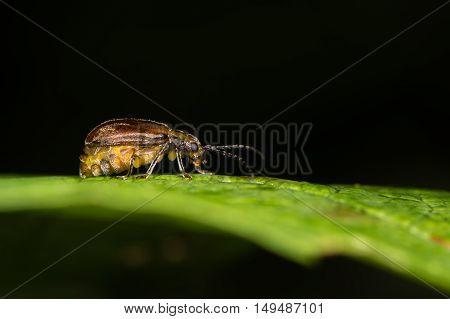 Viburnum beetle (Pyrrhalta viburni) gravid female. Garden pest in the family Chrysomelidae ready to lay eggs on guelder rose (Viburnum opulus) in British woodland