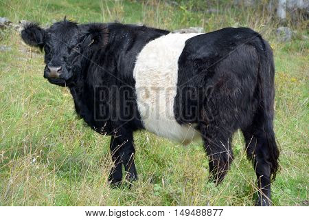 The Belted Galloway is a heritage beef breed of cattle originating from Galloway in South West Scotland, adapted to living on the poor upland pastures and windswept moorlands of the region.