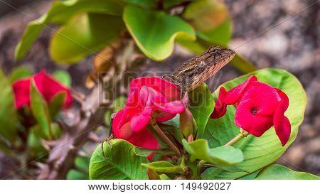 Oriental garden lizard on Red Euphorbia Beautiful Flower in Thailand