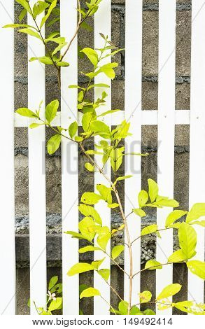 White Wood Fence With green leaf ivy