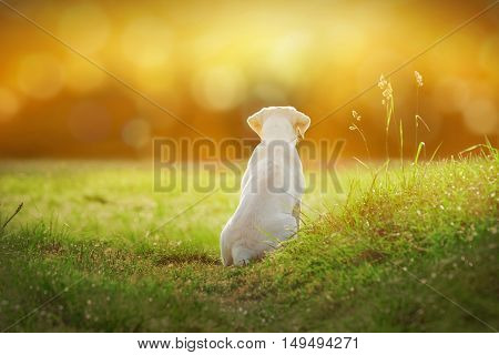 young cute labrador retriever dog puppy on a meadow by sunset with cartoon look