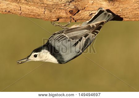 White-breasted Nuthatch (sitta carolinensis) upside down on a tree trunk with a green background