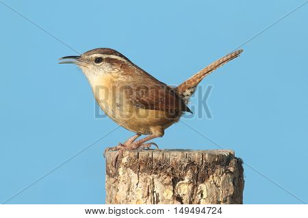 Carolina Wren (Thryothorus ludovicianus) on a post with a blue background