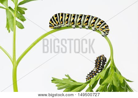 Two Black Swallowtail Butterfly larvae on parsley plant with copy space.