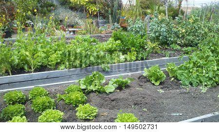 green lettuce patch in city community garden