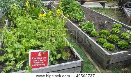 city community gardening in wooden planter boxes