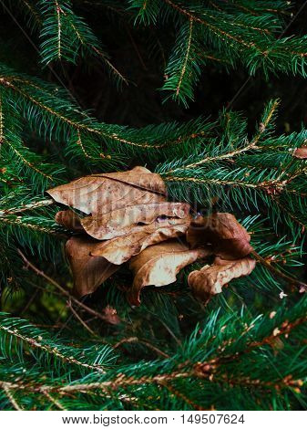 Wizened walnut leafs on the pine tree