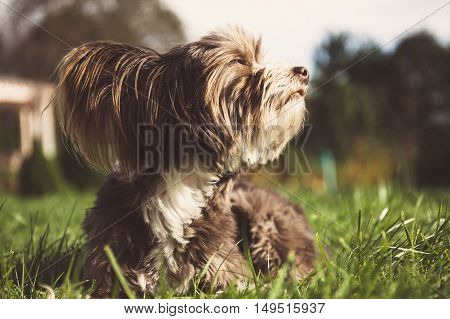 Brown Chinese crested dog on a green grass.