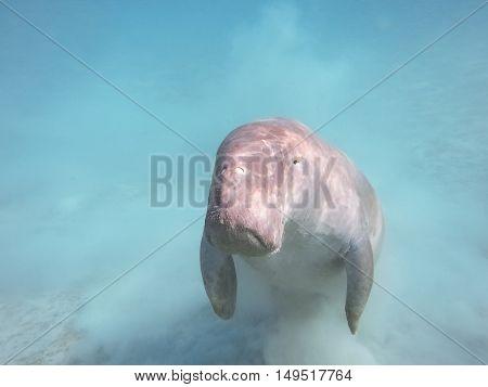 Dugong Dugon. The Sea Cow.