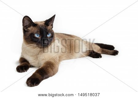 A beautiful siamese cat over white background