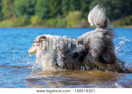 Blue Merle Colored Collie Dog In The Water