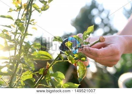 Flower garden, tending roses. Cutting the rose canes. Care work in the garden.