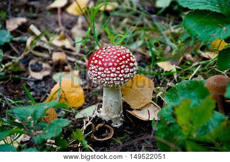 red mushroom in forest. rising out of the ground. hat the white dots