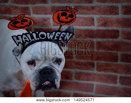 Portrait Of French Bulldog With Halloween Props.
