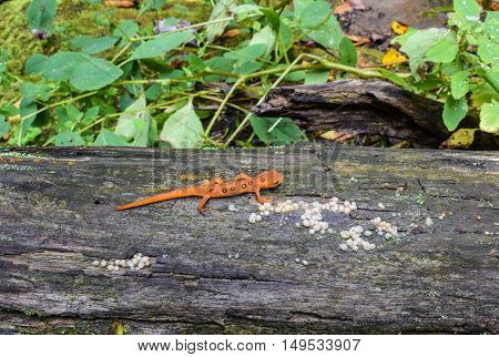Red Eft  (Notophthalmus viridescens) in it's natural environment.