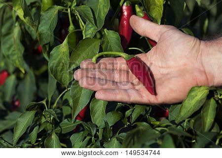 Hand holding red chili pepper in a vegetable garden. Red chili on hand, chili backyard organic farm growing vegetable