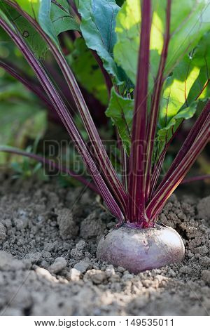 Beetroot in a vegetable garden. Growing beetroot.