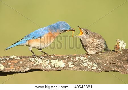 Male Eastern Bluebird (Sialia sialis) feeding his hungry baby