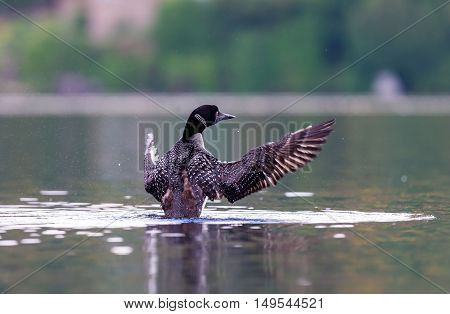 Common Loon breaching the water to stretch and dry its feathers after a dive in search of fish. This shot was taken on lac Creux northern Quebec Canada. Here you can see the incredible feather pattern