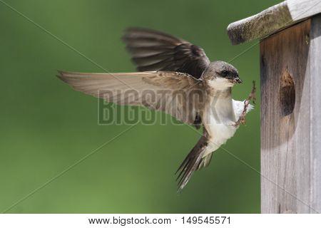 Tree Swallow (tachycineta bicolor) bringing food to the nest