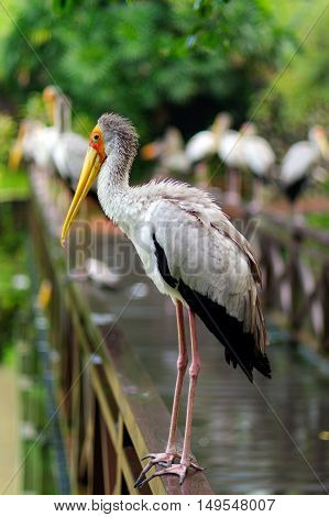 a lot of white storks sitting on bridge railings ciconia at rainy day. stork.