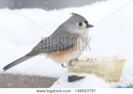 Tufted Titmouse (baeolophus bicolor) on a feeder in a snow storm