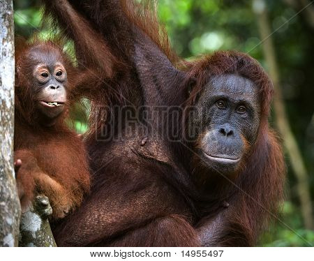 A Female Of The Orangutan With A Baby.