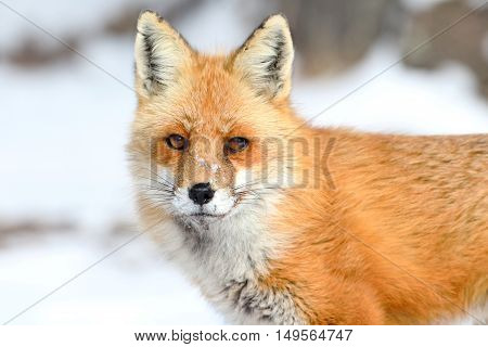 Red Fox (vulpes) in snow in winter
