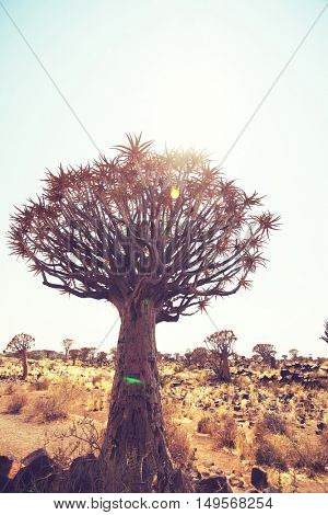 Quiver tree in african desert. Namibia, Africa