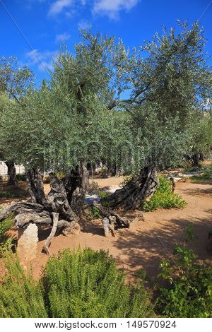 Location prayer of Jesus before his arrest in Jerusalem. The path between the old olive trees in the Garden of Gethsemane
