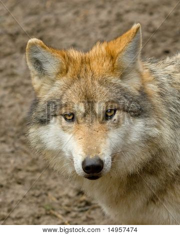 A Young Mexican Wolf