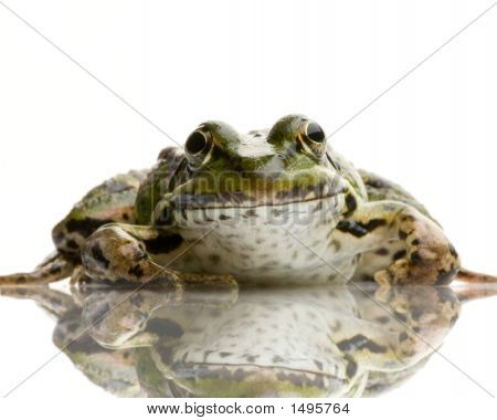 Edible Frog in front of a white background poster