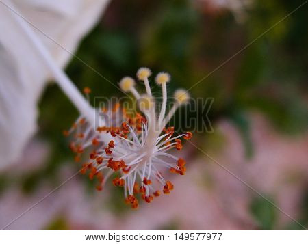 Close up photo of the white hibiscus anther.