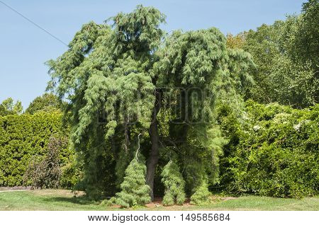 Southern longleaf pine tree in park in summer day