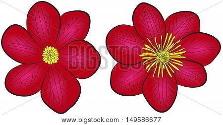 two vector blooming clematis flowers dark red drawn flowers on isolated white background