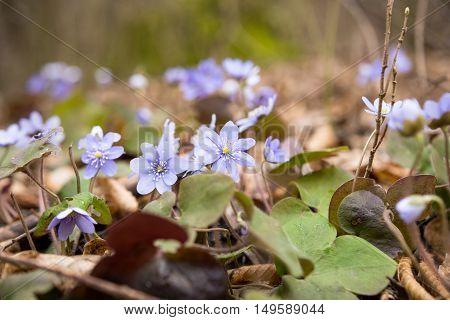 liverwort (Hepatica nobilis) growing on the forest floor;